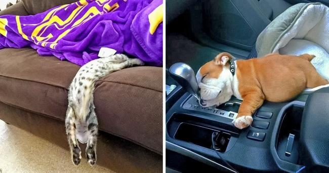 Her Ortamda Uyuyabilen Komik Ve Eğlenceli Hayvanlar